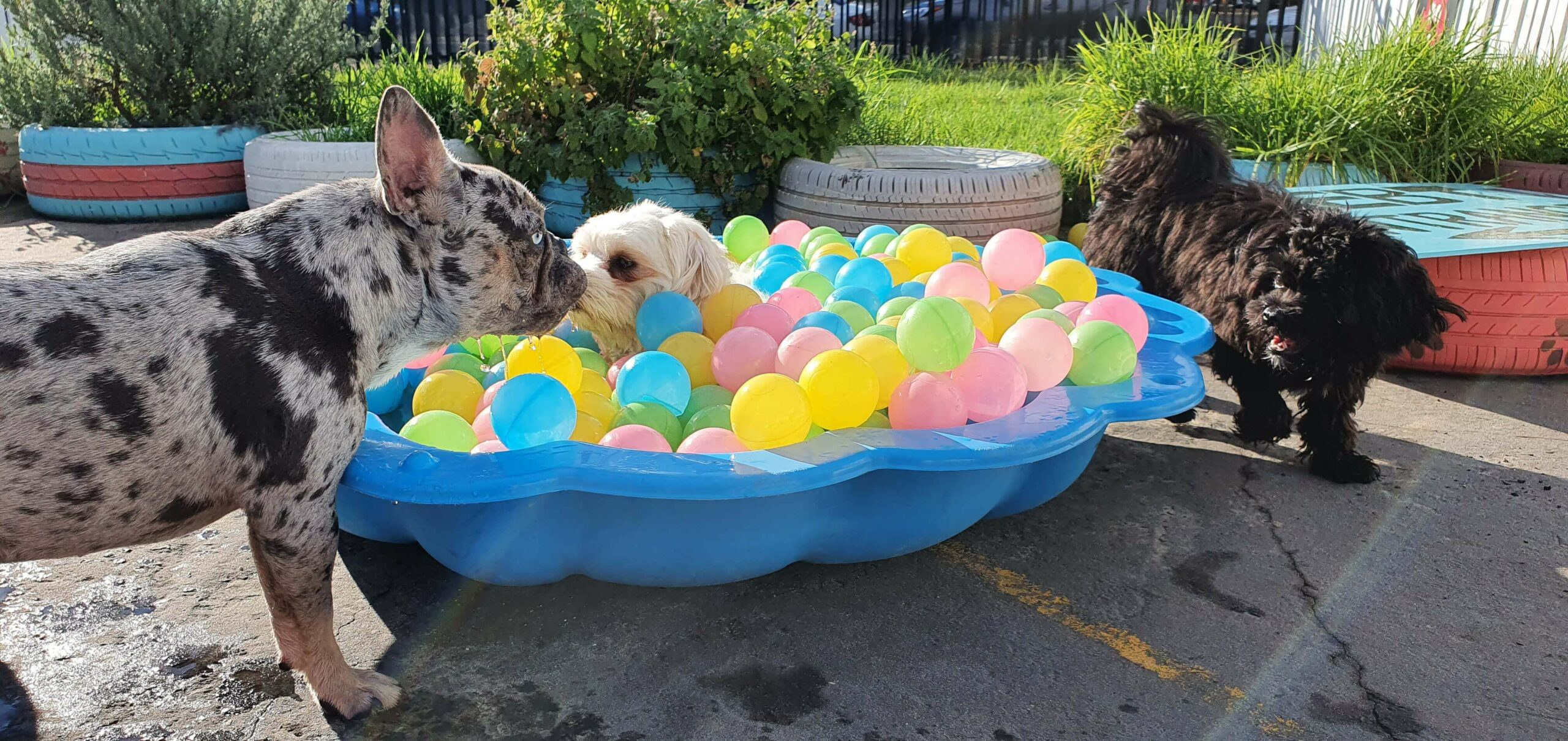 Little dogs playing in shell-pool with colourful balls