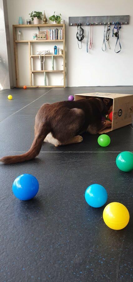 Kelpie in box