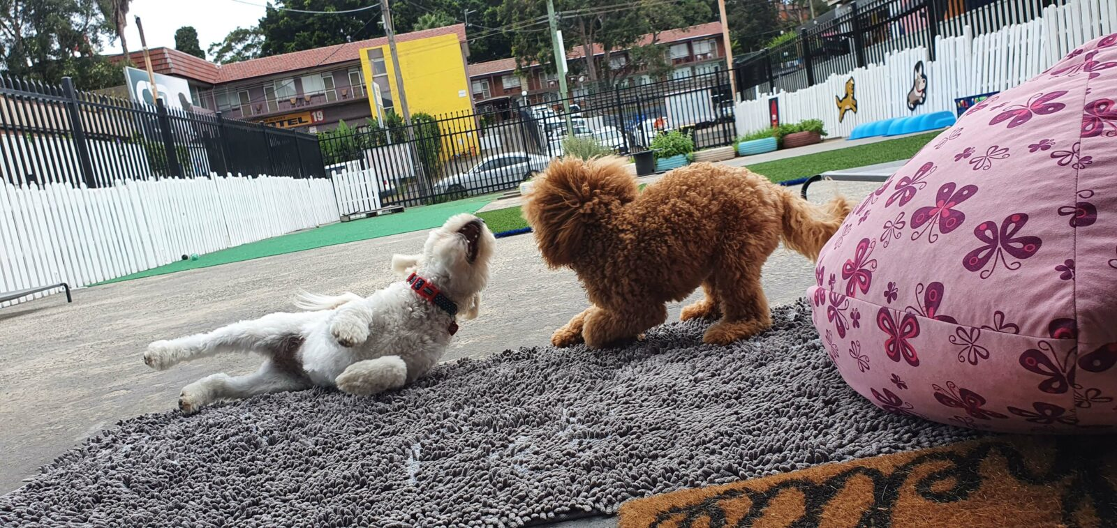 Two little dogs playing